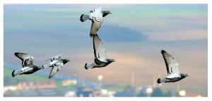 Pigeons-V 2014