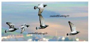 Pigeons-voyageurs 2014